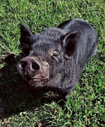 Gideon the pig of Fat Goblin Games